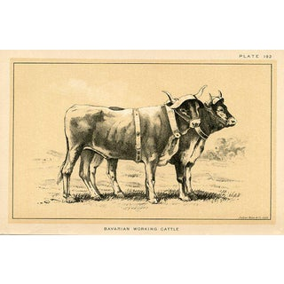Bavarian Working Cattle, 19th C. Lithograph For Sale