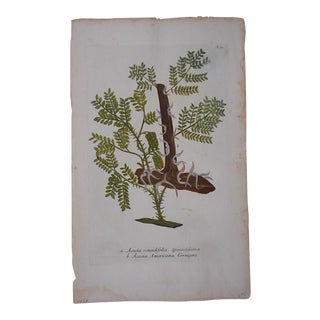 Johann Weinmann Botanical Mezzotint, Circa 1740 For Sale