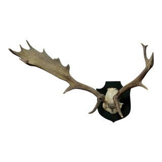 Black Forest Fallow Deer Trophy From Salem - Spain 1979 For Sale