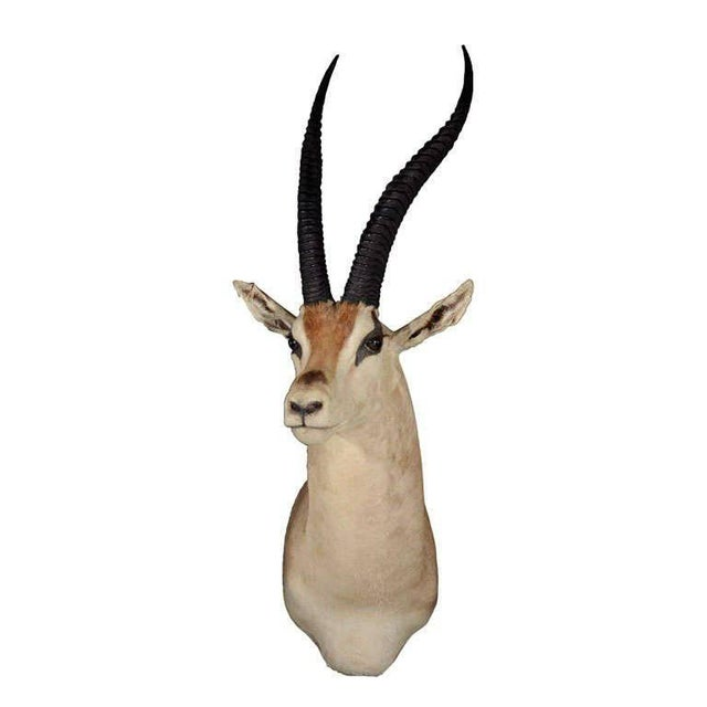 1960's vintage taxidermy of a Thomson's Gazelle. It is distinguished by the dark side stripe that runs from the shoulder...