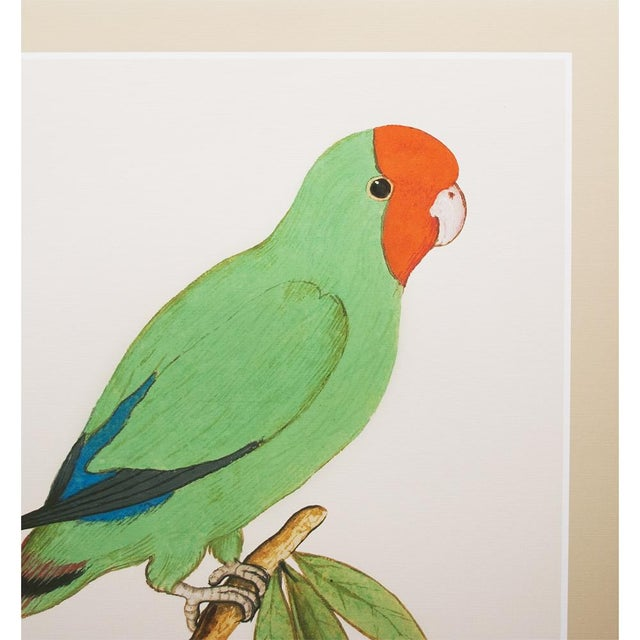 A beautiful reproduction print after watercolor of Red-headed Lovebird by Anselmus Boëtius de Boodt (1550 - 1632), Flemish...
