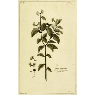 Antique Engraving - Lonicera Cœrulea, 1773