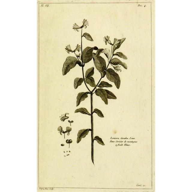 Antique Engraving - Lonicera Cœrulea, 1773 For Sale