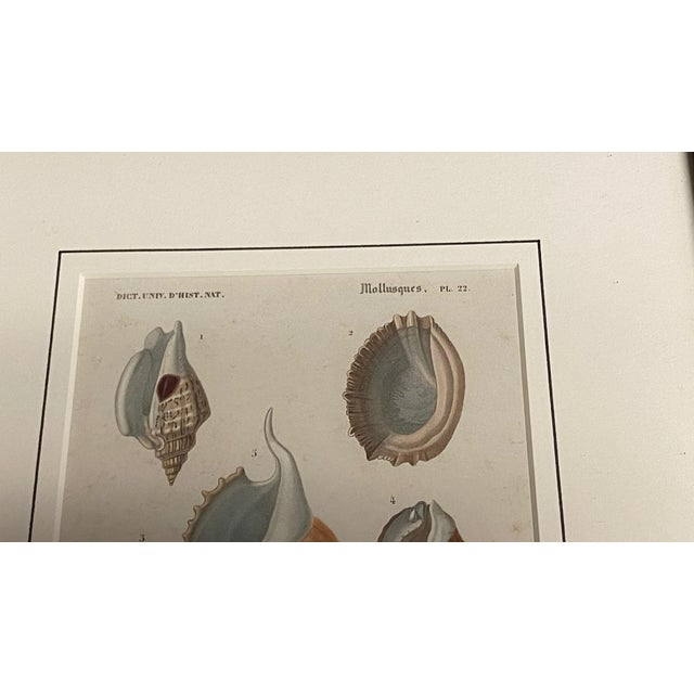 Antique French Mollusk Seashell Engravings - Set of Four For Sale In Dallas - Image 6 of 13