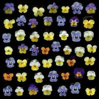 I Saw Your Face in the Crowd (Viola) - Flower Photography by Francesca Wilkinson For Sale