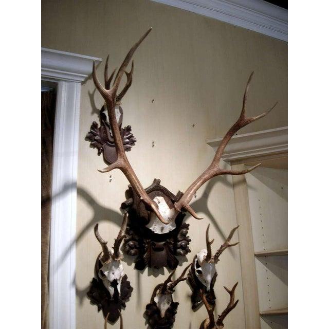 Monumental black forest stag mount on carved wood plaque.