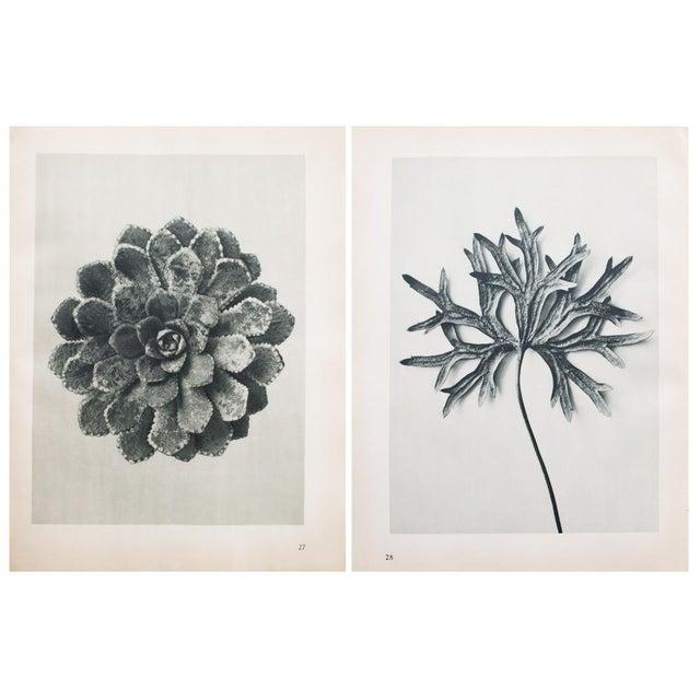 Karl Blossfeldt Double Sided Photogravure N27-28 - Image 8 of 8