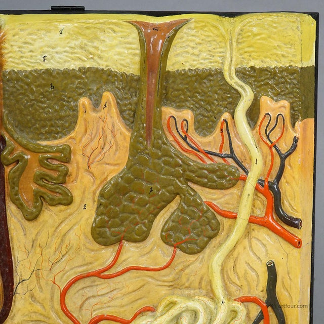 Abstract Antique Teaching Aid Human Skin Model On Wooden Plate By Somso For Sale - Image 3 of 8