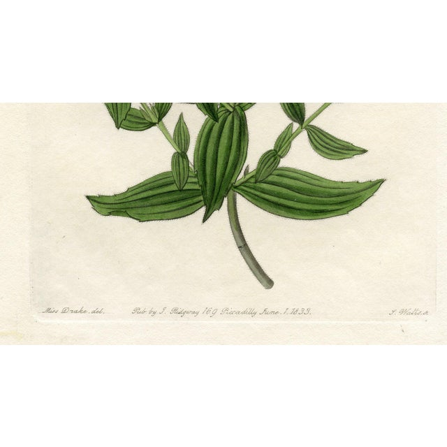 Hand colored print of a Rosy Monkeyflower after an illustration by Miss Drake, one of the best known woman botanical...