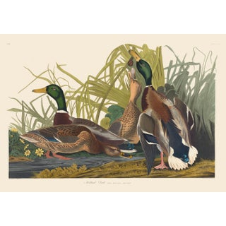 John James Audubon Print, Mallard Duck For Sale