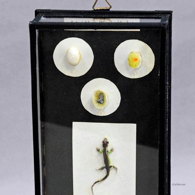 Illustration Biology School Model Preparation Evolution Of The Lizard For Sale - Image 3 of 7