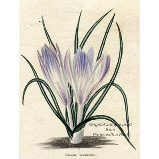 Party-Coloured Crocus, 1828 Botanical Engraving For Sale