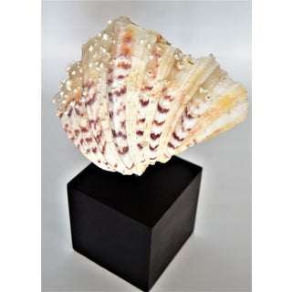 Vintage Seashell Clamshell on Black Base Preview