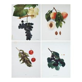Antique Fruit Prints by U.P.Hedrick - Set of 4