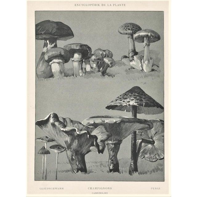1904 French Botanical Mushrooms Lithograph - Image 1 of 3