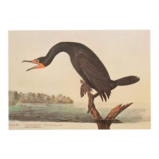 XL Audubon Print of Florida Cormorant, 1966