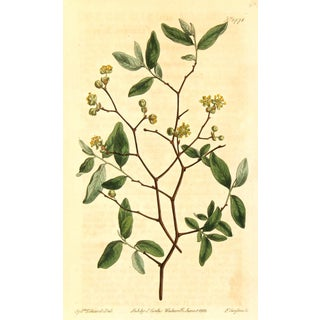 "Antique Botanical Print ""Yellow Blooms,"" 1812"