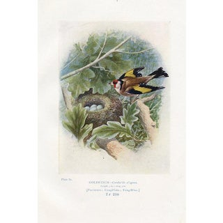 Goldfinch Nest & Eggs Print For Sale