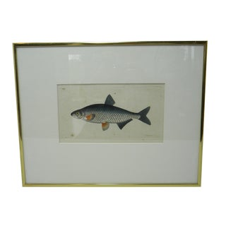 Antique Fish Print For Sale