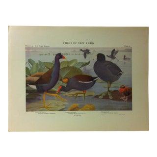 "1925 ""Purple Gallinule - Florida Gallinule"" the State Museum Birds of New York Print For Sale"