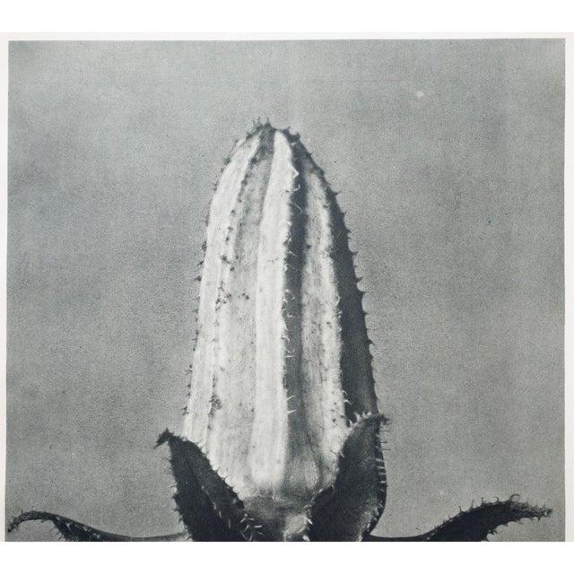 Karl Blossfeldt Double Sided Photogravure N57-58 - Image 3 of 8