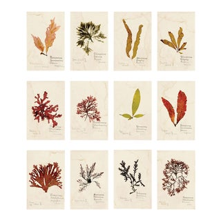Capistrano Seaweed, Small, Unframed Artwork - Set Of 12 For Sale