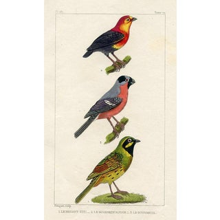 Bunting and Bullfinch, 1831 French Bird Engraving For Sale