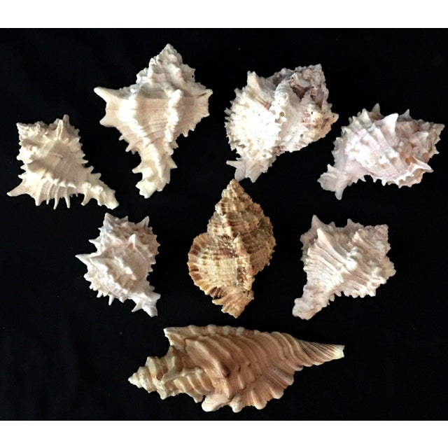 Shell Murex Shell Lot - Set of 8 Shells For Sale - Image 7 of 12