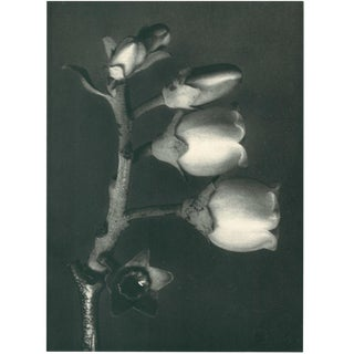 1928 Contemporary Original Photogravure by Karl Blossfeldt - N108 For Sale