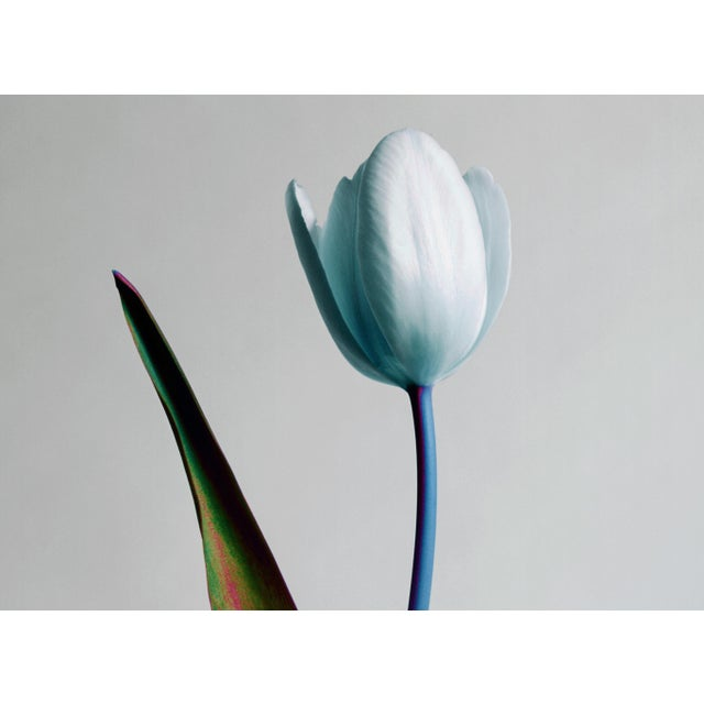 A single tulip in bloom isolated on a pale grey backdrop. The colours have been digitally manipulated to add a vibrant...