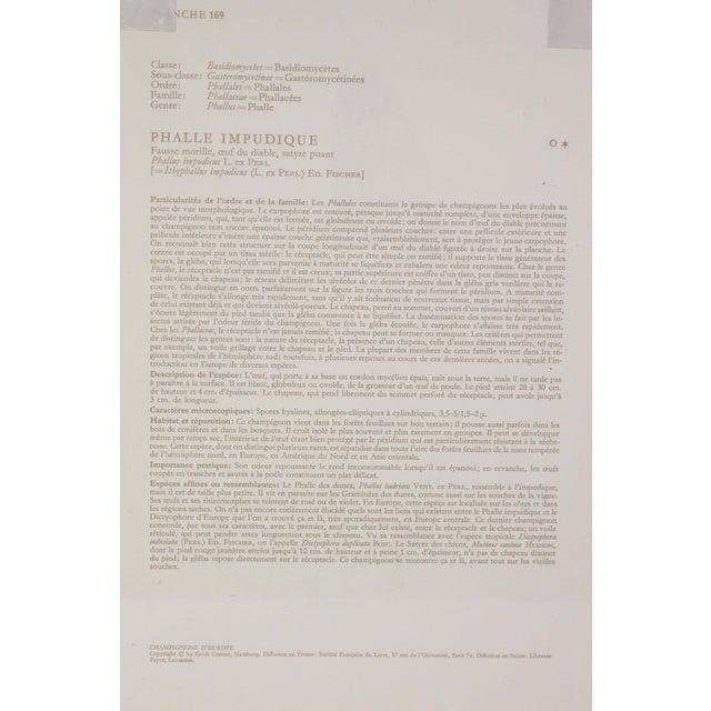 "Contemporary Antique French Botanic Mycology Study Lithograph - Phallus Impudicus ""Stinkhorn"" Mushroom For Sale - Image 3 of 4"