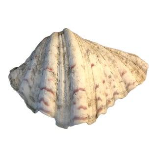 Vintage White Tridacna Clam Shell