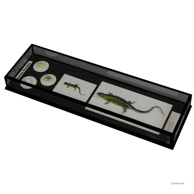3D Biology School Model Preparation Evolution Of The Lizard For Sale - Image 7 of 7