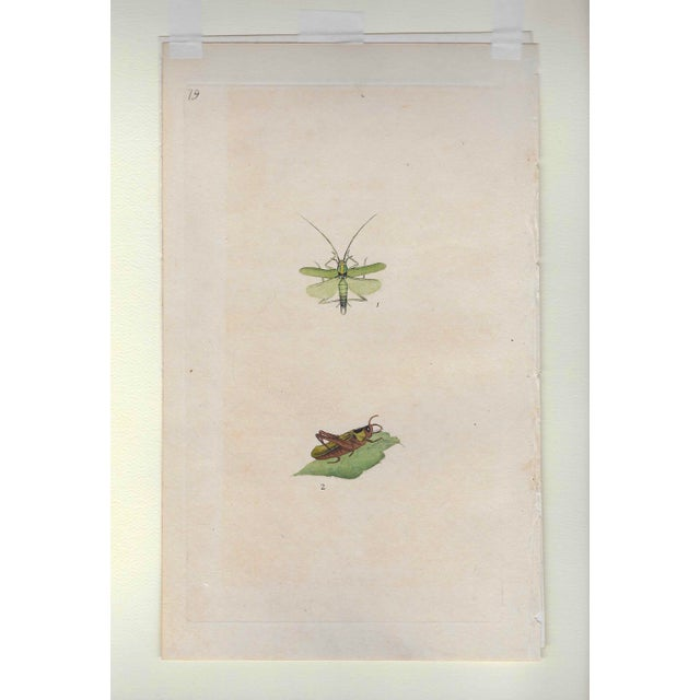 Antique English Insect Handcolored Engraving For Sale - Image 4 of 5