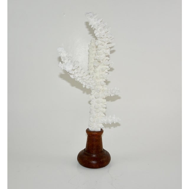 White Coral Branches Mounted on Round Wood Bases - a Pair For Sale - Image 4 of 8