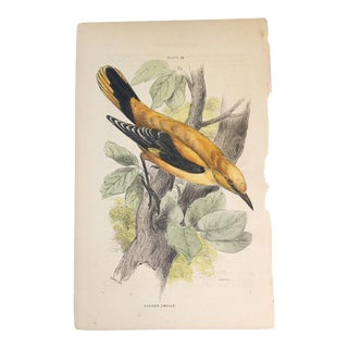 19th Century Bechstein Golden Oriole Engraving