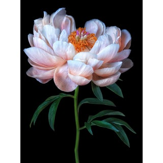 "Photographic Botanical Print, ""Peony Charm"" by Artist Debi Shapiro For Sale"