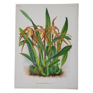 Antique Orchid Lithograph For Sale