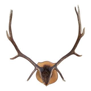 Vintage Elk Mounted Antlers For Sale