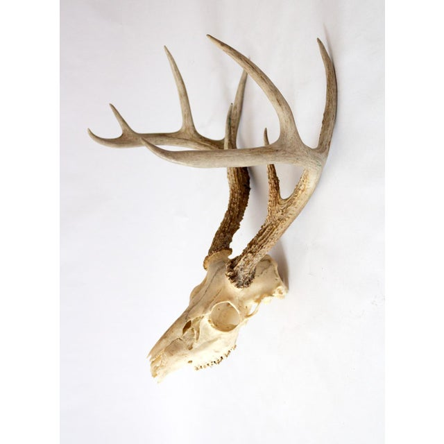 1950s Vintage Natural 9 Point Whitetail Deer Skull For Sale In Dallas - Image 6 of 10