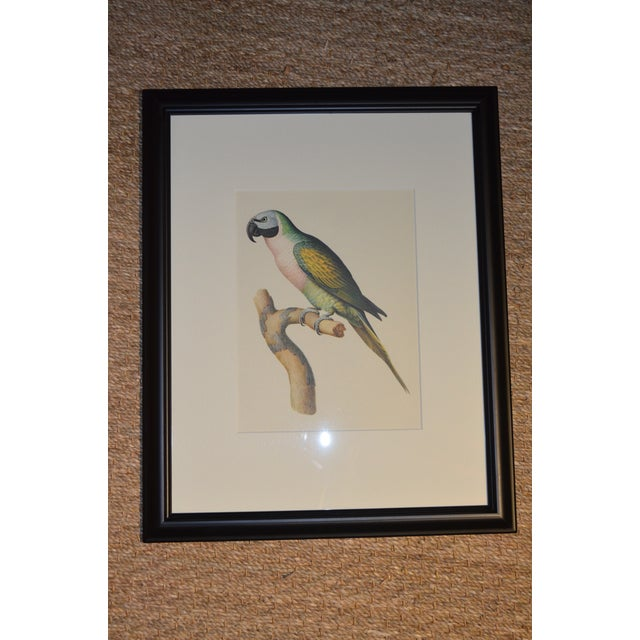 "Matted and Framed Vintage Larousse Perroquet ""Moustache Parakeet"" Color Lithograph For Sale - Image 4 of 8"