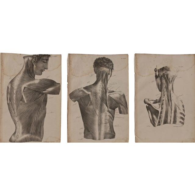 19th Century Musculature Prints - Set of 3 - Image 1 of 4