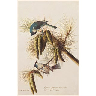 Tufted or Crested Titmouse by Audubon, 1966 Vintage Cottage Print For Sale