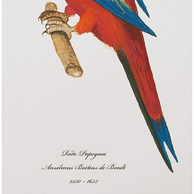 American Classical 1590s Large Print of Red Parrot by Anselmus De Boodt For Sale - Image 3 of 7