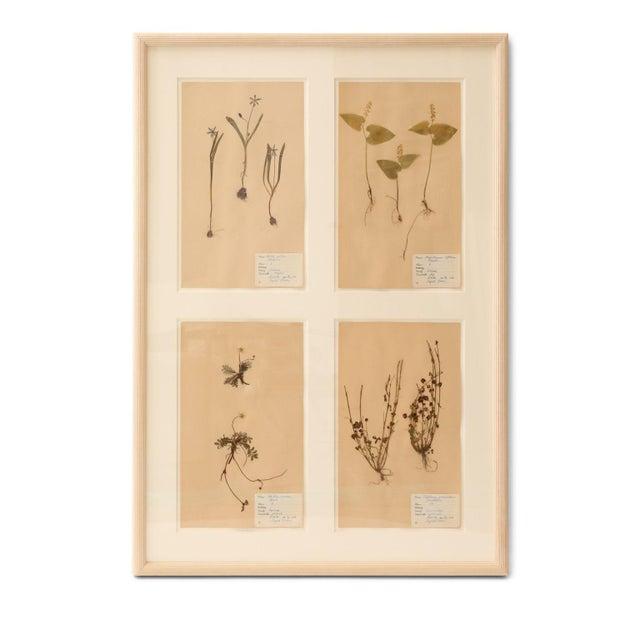 Framed set of four vintage herbaria (circa 1930-1949, Sweden). Each herbarium (botanical) measures 15.75 inches high x 9.5...