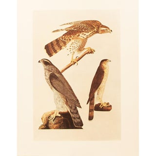 1960s Cottage Lithograph of Goshawk by Audubon For Sale