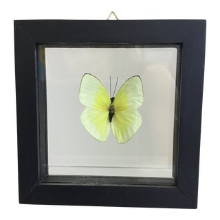 Butterfly in a Shadow Box Frame For Sale