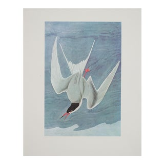 Large Lithograph of Common Tern by Audubon, 1966
