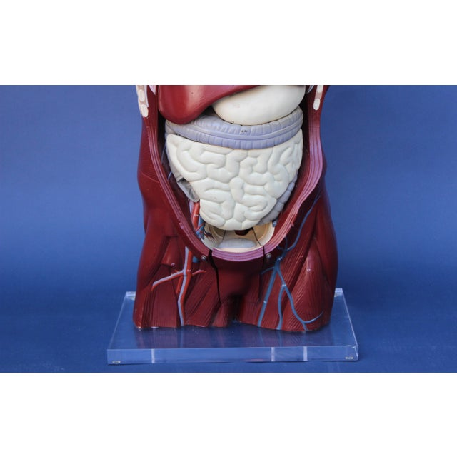 Mid-Century Anatomical Model For Sale - Image 4 of 10