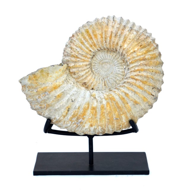Stone Large Fossilized Ammonite on Custom Iron Stand For Sale - Image 7 of 7